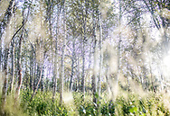 A birch forest in Finnish Lapland is lit by the early morning summer sun.<br />