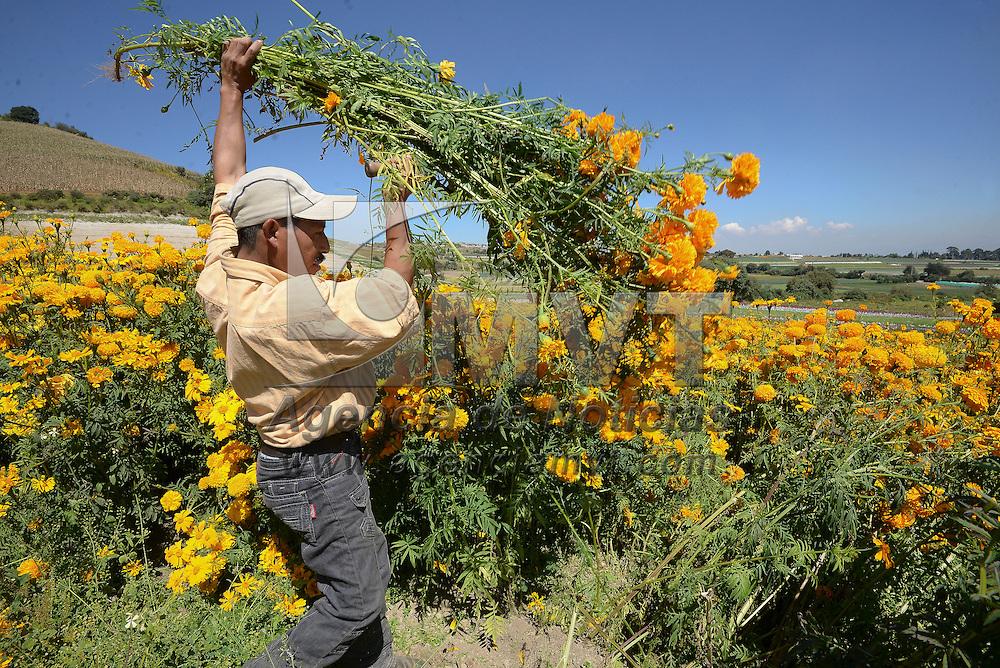 Tenango del Valle, México (Octubre 26, 2016).- Productores de flor de San Francisco Putla, en  Tenango del Valle iniciaron el corte de flor de cempasúchil, nube, alelí, crisálida entre otras para su venta por la celebración del Día de Muertos, confiando en que tendrán buenas ventas.  Agencia MVT / Crisanta Espinosa.