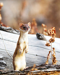 Long Tail Weasel, Yellowstone National Park