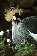 Avifauna, Europa's grootse vogelpark. / Avifauna - the largest bird sanctuary in Europe Op de foto / On the photo : Kroonkraanvogel ( Balearica regulorum ) / Grey Crowned Crane