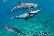 Hawaiian spinner dolphins or Gray's spinner dolphin or long-snouted spinner dolphin, Stenella longirostris longirostris, courtship / socializing, Kaupulehu, Kona Coast, Big Island, Hawaii ( Central Pacific Ocean )