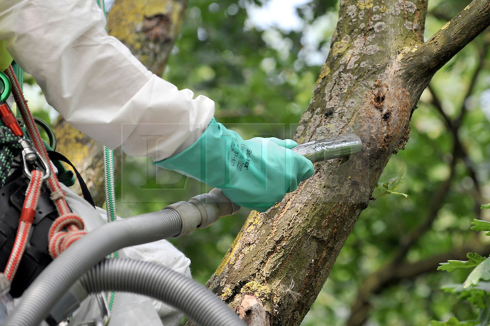 © licensed to London News Pictures.  29/07/11. London, UK.  A British Waterways  worker inspects the tree for  nests along Grand Union Canal at Brentford, West London today (29/07/2011) in an attempt to eradicate the dangerous alien Oak Processionary Moth.  The moths are hazardous to human health and strip English oak trees of foliage which can ultimately cause the trees to die. As pesticides are not allowed to be used near water, the moths must be 'sucked' out of the trees. The Oak Processionary Moth (OMP), which is native to southern and central Europe have irritating hairs that carry a dangerous toxin. The hairs are easily blown in the wind causing serious irritation to the skin, eyes and bronchial tubes of both humans and animals. Photo credit Stephen Simpson/LNP