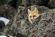 Red fox hunting in rocky terrain