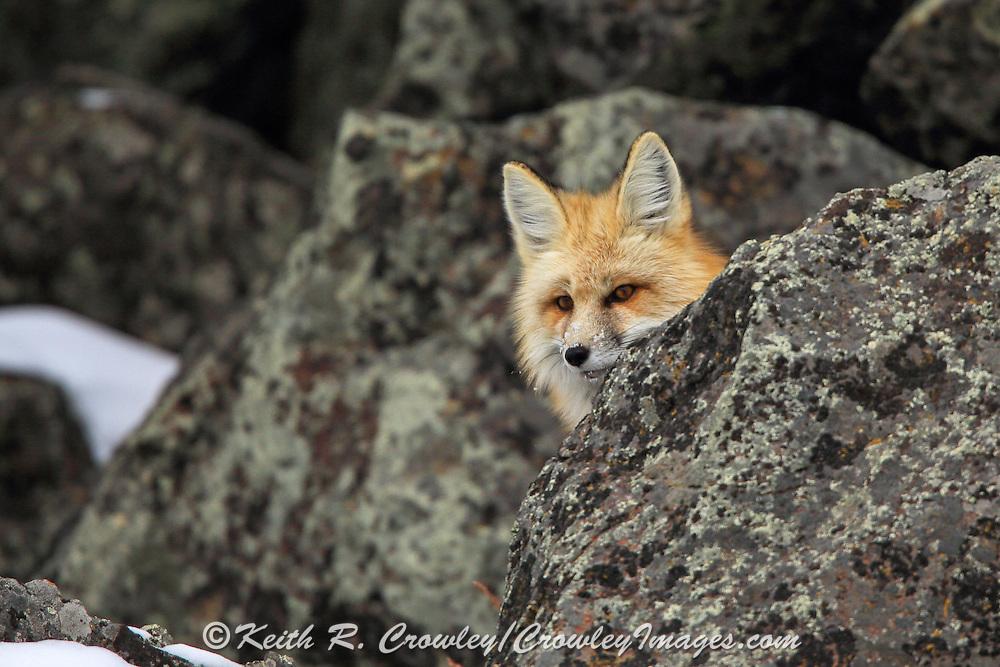 Red fox hunting in rocky terrain