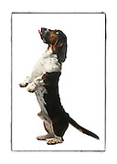 """SHOT 2/18/08 1:21:09 PM - Portraits of various dogs at the 13th Annual Rocky Mountain Cluster dog show at the National Western Complex in Denver, Co. """"Edward"""", a 21 month old male Basset Hound stands on his back legs hoping for a treat. """"Edward"""" is owned by Christina Wanamaker of Loveland, Co. and she said """"he's my little clown"""". He was wearing a protective covering to prevent his ears from being damaged. The Basset Hound is a short-legged breed of dog of the hound family. They are scent hounds, bred to hunt by scent. Their sense of smell for tracking is second only to that of the Bloodhound. The name Basset derives from the French word """"bas"""" meaning """"low;"""" """"basset"""" (-et attenuating suffix) meaning, literally, """"rather low."""" The Basset Hound is often considered a friendly breed. Bassets are friendly and welcome the opportunity to make new friends. Basset Hounds are a breed of French lineage, a descendant of the St. Hubert's Hound, a dog similar to the present-day Bloodhound. Friars of St. Hubert's Abbey in medieval France desired a shorter-legged dog, capable of following a scent under brush in thick forests, as hunting was a classic sport of the time. Both Bassets and St. Hubert's Hounds were bred to trail, not kill, their game. Bassets were originally used to hunt rabbits and hare. The dog show features some of the top show dogs in the country and showcases close to 200 different breeds. Some 3,500 dogs and some of the top handlers in the country compete at the event which follows on the heels of Westminster. In a conformation show, judges familiar with specific dog breeds evaluate individual dogs for how well they conform to published breed standards. Conformation shows are also referred to as dog shows or breed shows. Conformation shows are typically held under the auspices of a national kennel club. At the highest levels are Championship or all-breed shows, which have separate classes for the majority of breeds.(Photo by Marc Piscotty / © 2008)"""