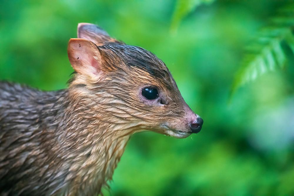Taiwan or Formosan Reeves's muntjac baby, Muntiacus reevesi formosanus, Walami cabin, Yushan National Park, Taiwan. Endemic subspecies.
