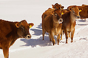 Winter, snow and cattle landscape, Cumru Township, Berks Co., PA