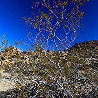USA, California, Joshua Tree. Creosote Bush in Joshua Tree.