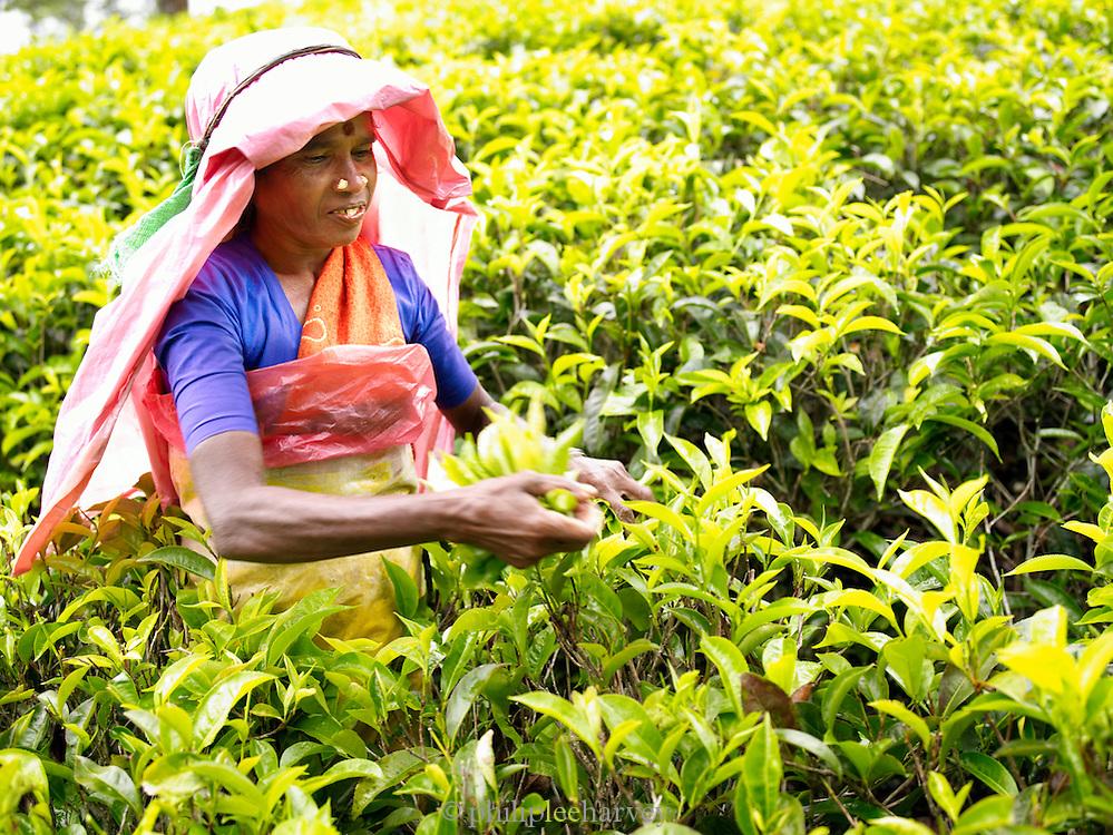 Tea picker in a plantation field in the hills of Nuwara Eliya, Sri Lanka