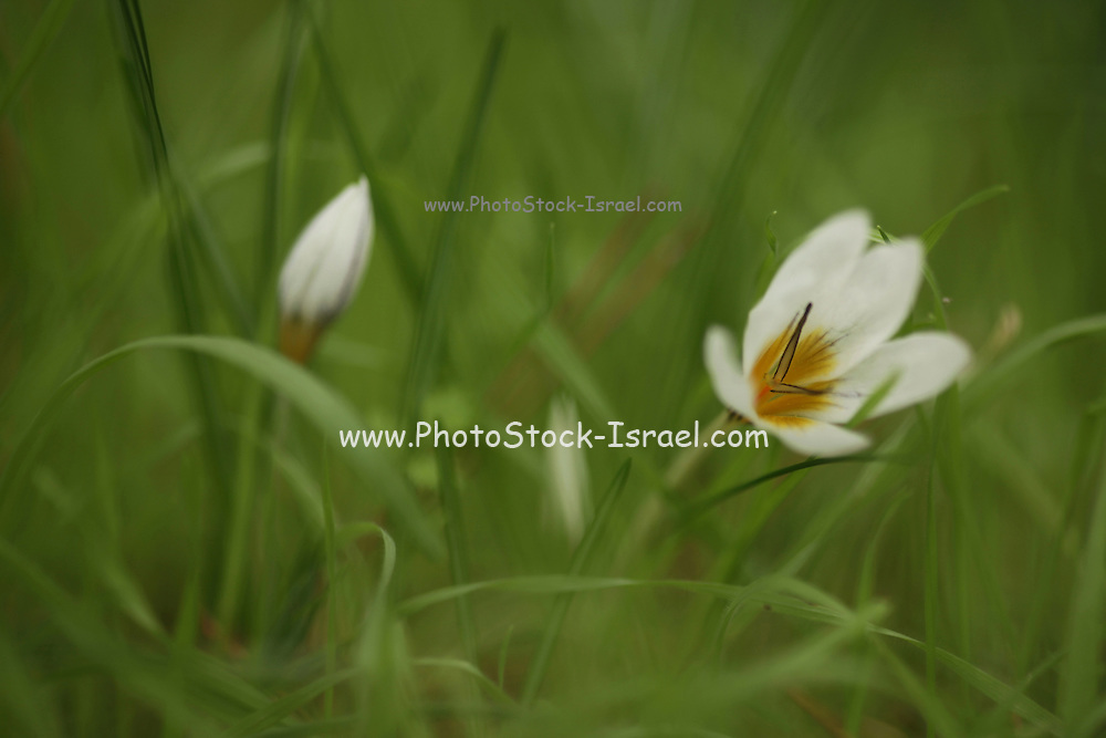 Crocus hyemalis, commonly known as Winter Crocus, or just Crocus. Photographed in Israel in December