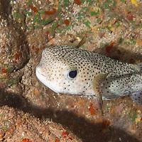 Giant Porcupinefish, Diodon hystris, Maui, Hawaii