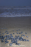 Kemp's ridley sea turtle, Lepidochelys kempii,<br /> hatchlings crawl toward ocean when released<br /> after emerging from nest in protected corral, <br /> Rancho Nuevo, Mexico ( Gulf of Mexico )