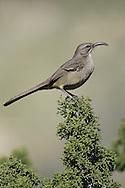California Thrasher - Toxostoma redivivum - Adult