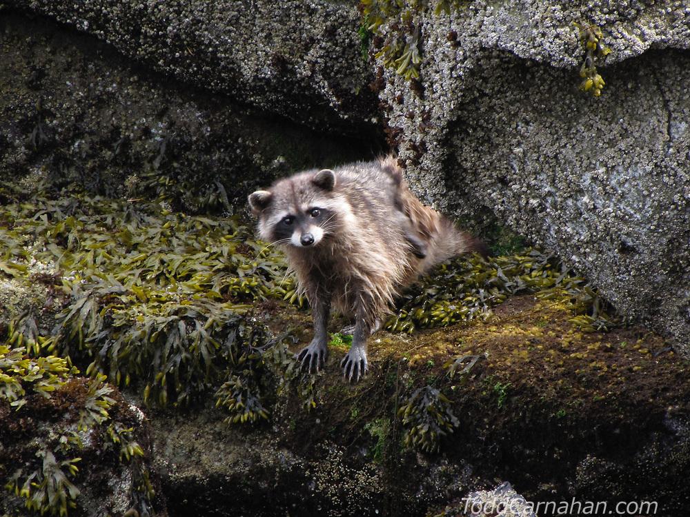 A raccoon foraging along the shoreline