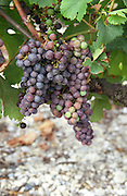 Unripe grapes. Veraison, grape colouring. Chateau de France, Pessac Leognan, Graves, Bordeaux, France