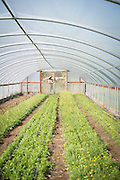 View of rows inside a greenhouse.