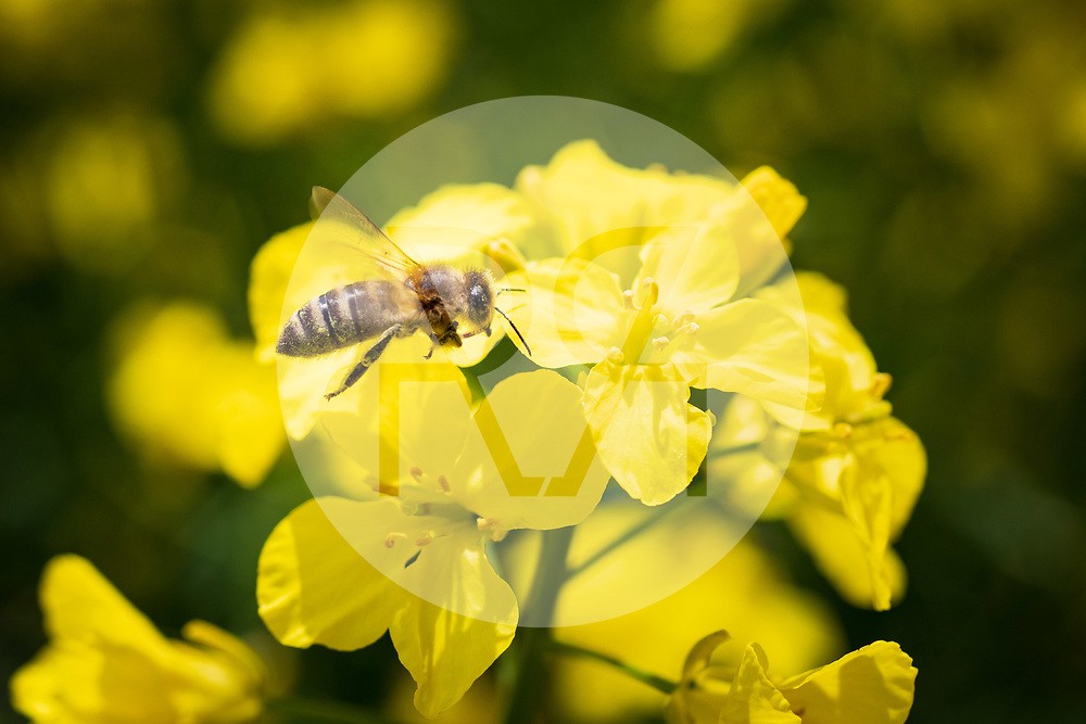 SCHWEIZ - GAMPELEN - Eine Biene auf blühendem Raps - 18. Mai 2021 © Raphael Hünerfauth - https://www.huenerfauth.ch