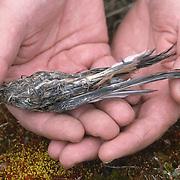 Denver Holt examines a Snowy Owl (Bubo scandiacus) pellet containing bird parts. Barrow, Alaska