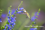 01162-15207 Ruby-throated Hummingbird (Archilochus colubris) at Blue Ensign Salvia (Salvia guaranitica ' Blue Ensign') in Marion County, IL