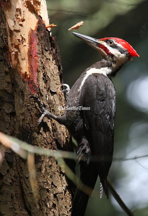 A Pileated Woodpecker goes to town on a tree in Hamlin Park in Shoreline. (Ken Lambert / The Seattle Times)