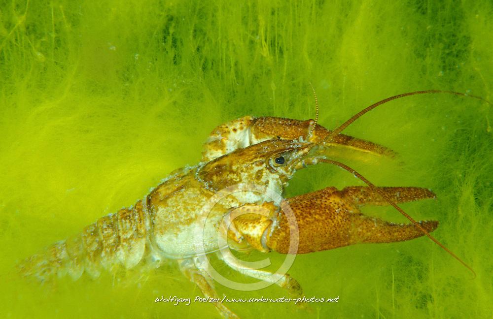 Austropotamobius pallipes, Dohlenkrebs, European freshwater crayfish, Nord Italien