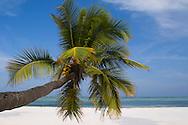 A palm tree leaning out over Matemwe beach, Zanzibar, Tanzania