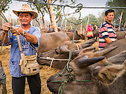 06 APRIL 2013 - SANPATONG, CHIANG MAI, THAILAND:     A farmer with his ties up his water buffalo before selling it at the market in Sanpatong, Chiang Mai province, Thailand. The buffalo market in Sanpatong (also spelled San Patong) started as a weekly gathering of farmers and traders buying and selling water buffalo, the iconic beast of burden in Southeast Asia, more than 60 years ago and has grown into one of the largest weekend markets in northern Thailand. Buffalo and cattle are still a main focus of the market, but traders also buy and sell fighting cocks, food, clothes, home brew and patent medicines.           PHOTO BY JACK KURTZ