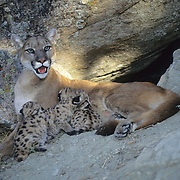 Mountain Lion (Felis concolor) female and cubs in Montana. Captive Animal