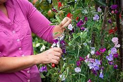 Deadheading sweet peas by removing seedheads - Lathyrus odoratus