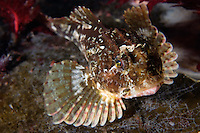 Long-spined Seascorpion, Taurulus bubalis.Atlantic marine life, Saltstraumen, Bodö, Norway