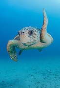 Loggerhead Sea Turtle swims offshore Palm Beach County, Florida. Image available as a premium quality aluminum print ready to hang.