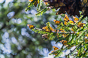 Monarch butterflies warm in the sun on an oyamel fir tree branch at the Sierra Chincua Biosphere Reserve January 20, 2020 near Angangueo, Michoacan, Mexico. The monarch butterfly migration is a phenomenon across North America, where the butterflies migrates each autumn to overwintering sites in Central Mexico.