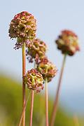 Salad burnet flowers on coastal grassland, Dorset, UK