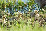USA, Oregon, Baskett Slough National Wildlife Refuge, Canada Goose (Branta canadensis) goslings.