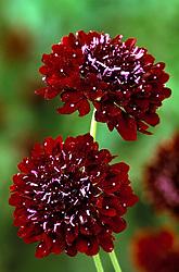 Scabiosa atropurpurea 'Black Knight'<br /> Pincushion flower, Sweet Scabious