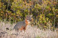 Endangered Island Fox - Urocyon littoralis santacruzae - Santa Cruz Island, Channel Islands National Park, California
