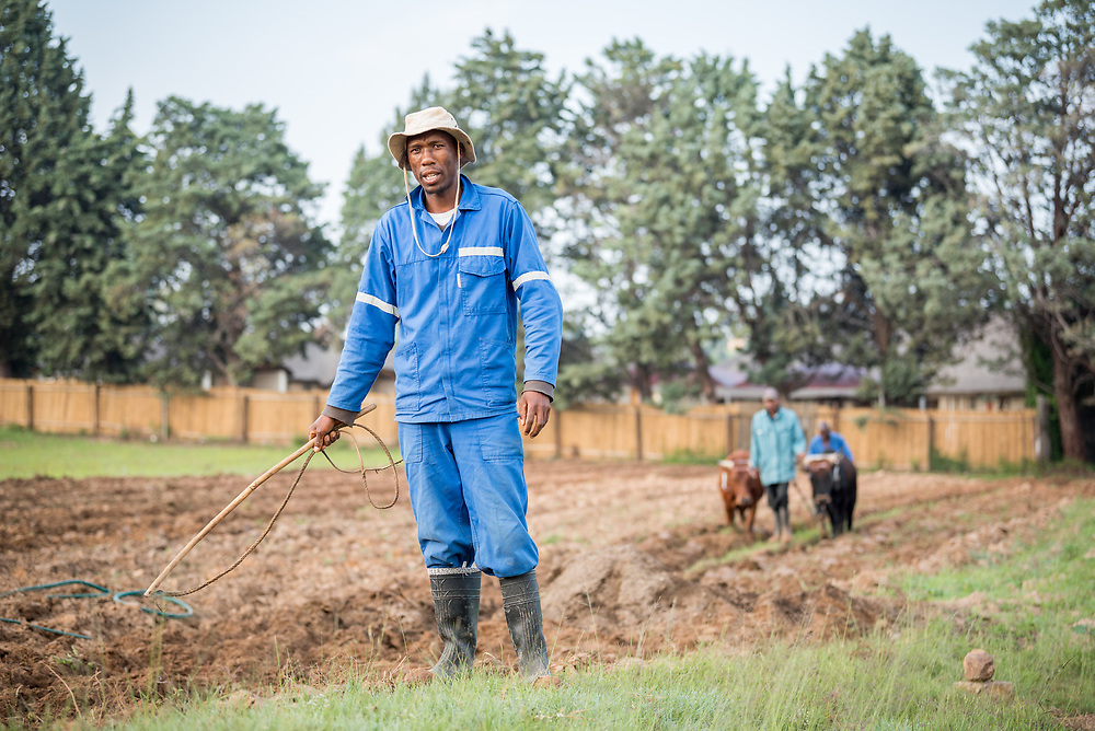"""1 March 2017, Thaba Bosiu, Lesotho: Farmer David Moshoeshoe is 33 years old. He lives on the hillside of Thaba Bosiu, """"Night Mountain"""" in Thaba Bosiu, Lesotho, where he grows vegetables, mainly cabbage and spinach. In the background is Nako Makhemeng, leading the oxen as they plough the field."""