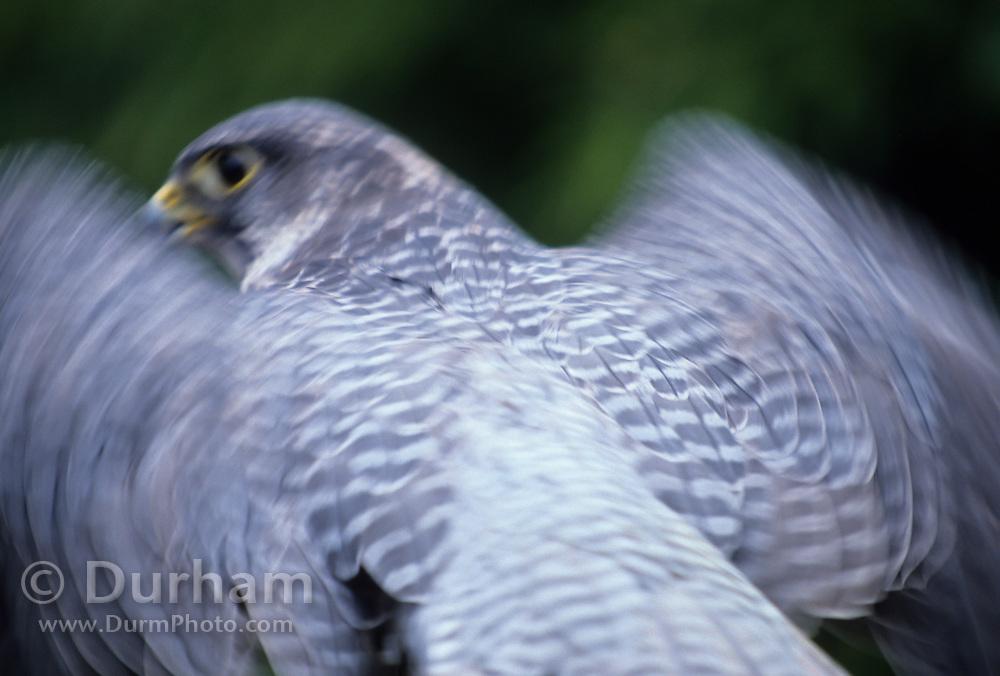 Portrait of a gyrfalcon (Falco rusticolus) in motion. captive.