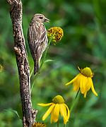 Pine siskin enjoys flower seeds, Sandia Mountains, New Mexico