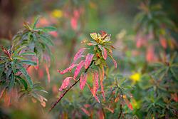 Euphorbia polychroma syn. E. epithymoides - Many coloured spurge, Cushion spurge