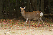 Sika deer (Cervus nippon), also known as the spotted deer or the Japanese deer, Kinkazan Island, Japan