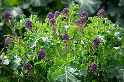 Purple sprouting Broccoli F1 Claret. Showing head that has been cropped resulting in more but smaller subsequent heads.