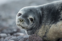 Weddell Seal (Leptonychotes weddellii) in Antarctica