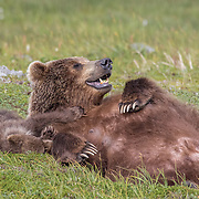 Alaskan brown bear and cub in Katmai National Preserve, Alaska