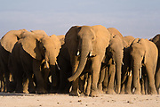An African elephants herd (Loxodonta africana) walking towards the photographer. In Amboseli, Kenya, About 1,600 elephants live in the Amboseli ecosystem, but during the rainy season they come into conflict with the villagers and farmers because they move into ranch areas in search for water.
