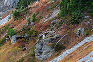 A Mountain Goat (Oreamnos americanus) climbing the southern side of Table Mountain at the Mount Baker Wilderness in Washington State, USA.  Photographed from the Chain Lakes Trail in early October.