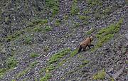 Grizzly bear, Kisaralik River, Alaska
