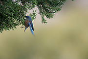 Photographs of a Western Bluebird (Sialia mexicana) feasting in a Juniper Tree