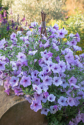 Petunia x hybrida 'Tidal Wave Silver' growing up a tripod by a wall