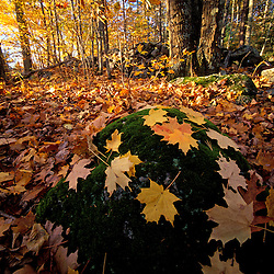 Sugar maple leaves on a mossy rock in one of the Nature Conservancy's Great Bay properties  Durham, NH